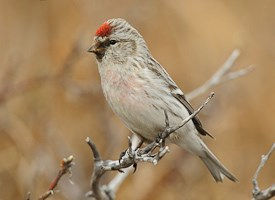 Hoary Redpoll Photo