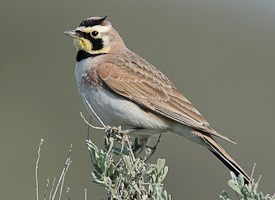 Horned Lark Photo
