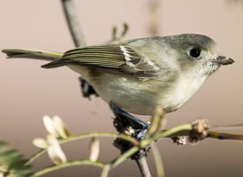 Hutton's Vireo Photo