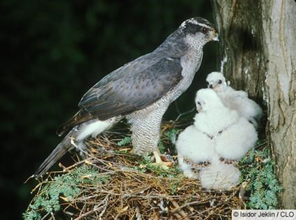 Adult with nestlings