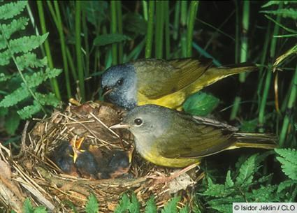 Female (in front) and male at nest