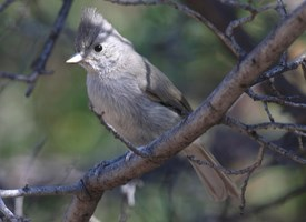 Juniper Titmouse Photo