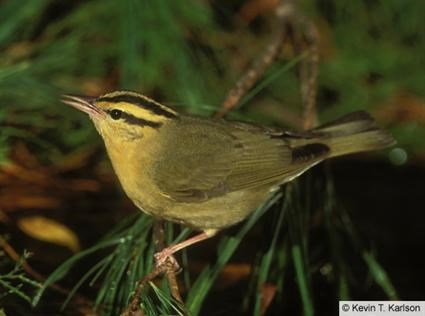 Adult DescriptionWorm Eating Warbler
