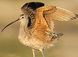 Long-billed Curlew Photo
