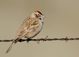 Lark Sparrow Photo