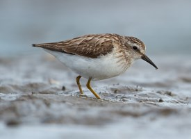 Least Sandpiper Photo