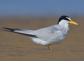 Least Tern Photo