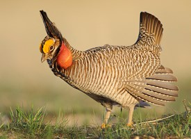 Lesser Prairie-Chicken Photo