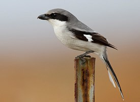 Loggerhead Shrike Photo