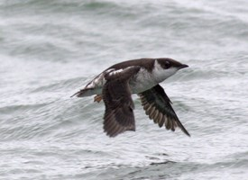 Marbled Murrelet Photo
