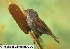 Swamp Sparrow, Identification, All About Birds - Cornell Lab of ...