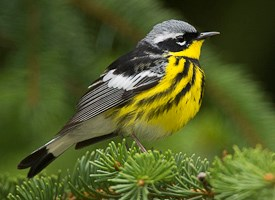 Magnolia Warbler Photo