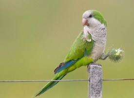 Monk Parakeet Photo