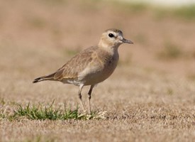 Mountain Plover Photo