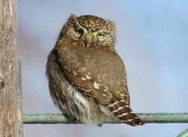 Northern Pygmy-Owl Photo