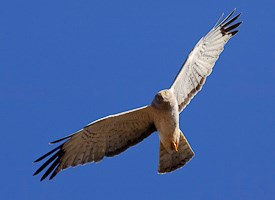 Northern Harrier Photo