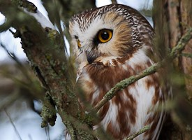 Northern Saw-whet Owl Photo