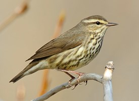 Northern Waterthrush Photo