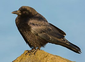 Northwestern Crow Photo