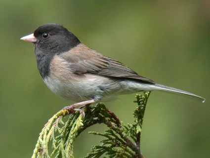 Male (Oregon)