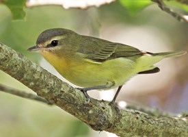 Philadelphia Vireo Photo