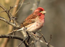 Browse by Bird Family (taxonomy) - Finches and Allies, All About ...