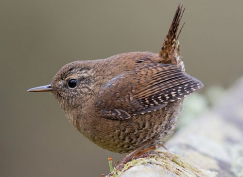 Pacific Wren Photo