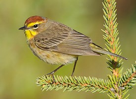 Palm Warbler Photo