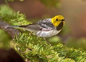 Hermit Warbler Photo