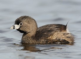 Pied-billed Grebe Photo