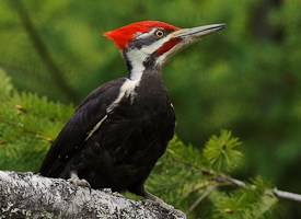 Pileated Woodpecker Photo