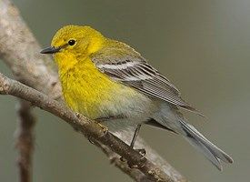 Pine Warbler Photo