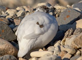 Rock Ptarmigan Photo
