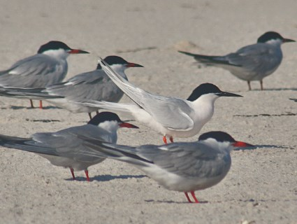Adult breeding (center) with Common Terns