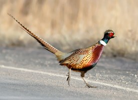Ring-necked Pheasant Photo
