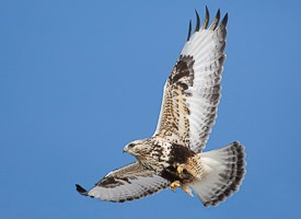 Rough-legged Hawk Photo