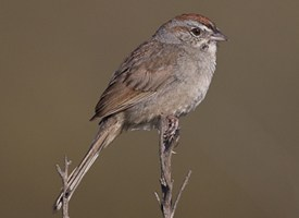Rufous-crowned Sparrow Photo