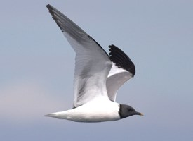 Sabines Gull Photo