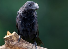 Smooth-billed Ani Photo