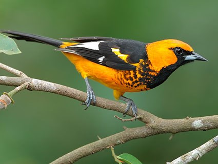 Spot-breasted Oriole Photo