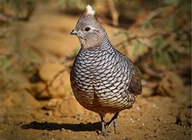 Scaled Quail Photo