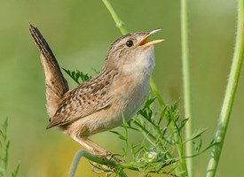 Sedge Wren Photo