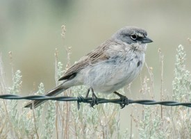 Sagebrush Sparrow Photo