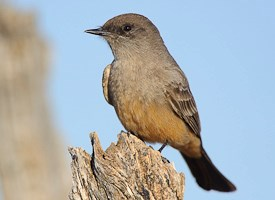 Say's Phoebe Photo
