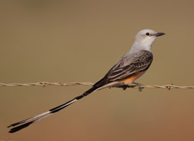 Scissor-tailed Flycatcher Photo