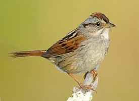 Swamp Sparrow Photo