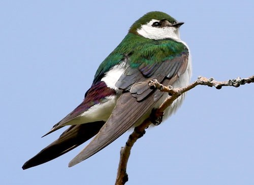 Violet-green Swallow Photo