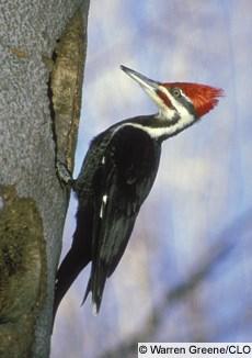 largest woodpecker in most