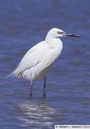 Adult white morph