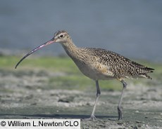 Long-billed Curlew--courtesy of William L. Newton/CLO
